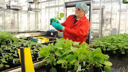 Professor George Lomonossoff, with the Nicotiana benthamiana plants (related to the tobacco plant),