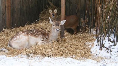 Deer keeping warm in the cold weather at Hillside Animal Sanctuary. Picture: Hillside Animal Sanctua