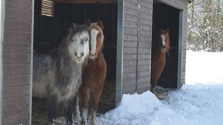 Welsh ponies from PACT Animal Sanctuary. The charity has said the winter weather has had a big impac
