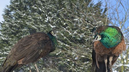 Peacocks at PACT Animal Sanctuary in the snow. Picture: PACT Animal Sanctuary