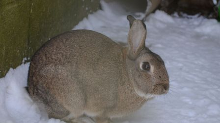 A rabbit from PACT Animal Sanctuary enjoying the snow. The charity has said the weather will have a