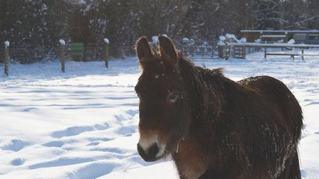 Muffin the mule in the deep snow. PACT Animal Sanctuary has said the weather will have a huge impact