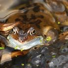 Doing what comes naturally: frogs creating a new generation.