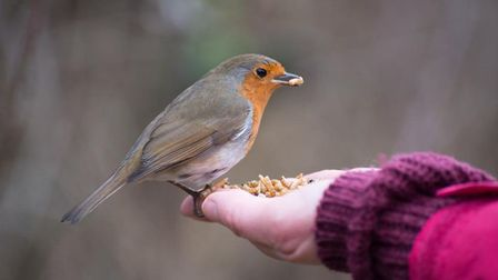 A robin eating out of Kelly Rix's hand (Image: Kelly Rix Photography)