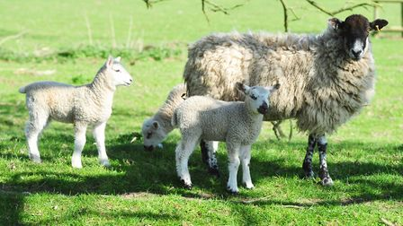 Spring lambs are particularly vulnerable to attacks by loose dogs, said rural insurer NFU Mutual. Pi