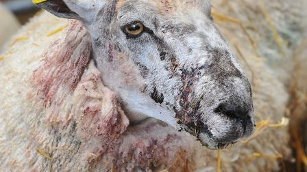 Bloodied and stitched, Welsh mule ewes from David Cross's flock which were attacked by a dog in thei