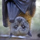 Maybe Neil should follow the fruit bat... and hang upside-down.