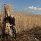 Reed cutter Martin Beaumont ties a bundle of reed on the Norfolk Broads near Irstead, Norfolk. Photo
