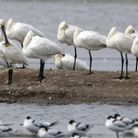 Spoonbill spotters come to the island to see their favourite bird. Picture: Steve Everett