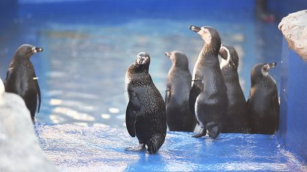 Some of the Humboldt penguins were returned over the weekend to the Sea Life Sanctuary in Hunstanton