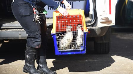 13 Humboldt penguins have returned to their home at the Sea Life Sanctuary in Hunstanton. Picture: I