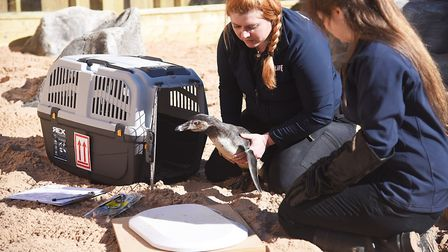 On their return to the Sea Life Sanctuary at Hunstanton, the penguins were weighed and tagged by ani
