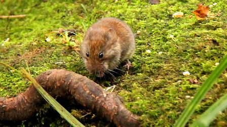 A young bank vole foraging at Fairhaven Woodland and Water Gardens. Picture: Trevor Taberham