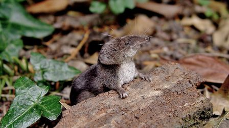 A common shrew. Picture: Anne Marks