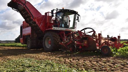 Sugar beet being harvested on the Euston Estate near Thetford. Picture: Sonya Duncan