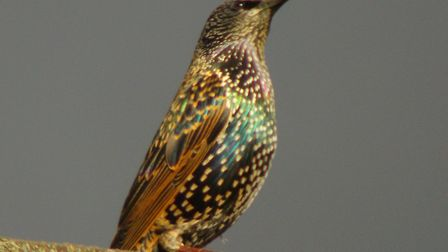 Starling. Picture: iwitness24 / Dudley Racher