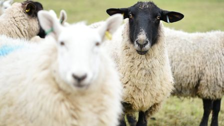 Sheep on a field in Norfolk. Picture: James Bass