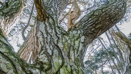 Wisdom Wood by the sand dunes at Wells-next-the-Sea. Picture: MICHAEL L'ANSON