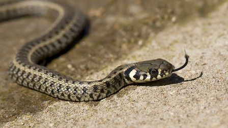 Grass snake (Natrix natrix) is a Eurasian non-venomous snake. Picture: Getty Images/iStockphoto