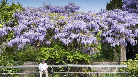 Wisteria in full bloom at Waterloo Park, Norwich.Picture: Nick Butcher