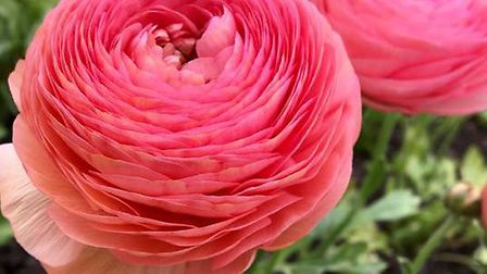 Regional flowers off to Chelsea. Ranunculus. Pictures: supplied by Sarah Hammond