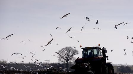 Gulls following the plough on a field in Langley near Loddon.Picture: Nick Butcher