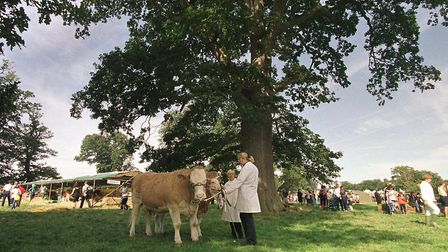 A cattle handler shelters beneath one of Blickling's ancient treesPicture: Sam Robbins