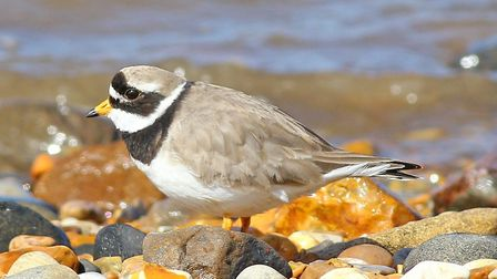 Ringed plover: this small bird builds well-concealed nest in the shingle - so camouflaged that we ma