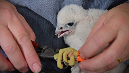 The Hawk and Owl Trust ring and health check the peregrine chicks at Norwich Cathedral.PHOTO BY SIMO
