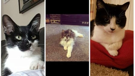 Some of the cats missing from Norwich. Photo: (L-R) Bella, Madison and Candy. Photo: Lost and Found