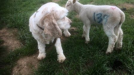 A little lamb mistook Bailey the spaniel for its mother at Felbrigg Hall. Photo: Peter Cason