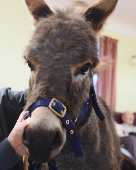 Miniature donkey one-year-old Rubik during his visit to the residents at Two Acres Nursing Care Home