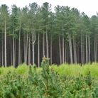 Tall pines at the rear, small ones in the foreground and birch trees saplings as the sandwich in bet