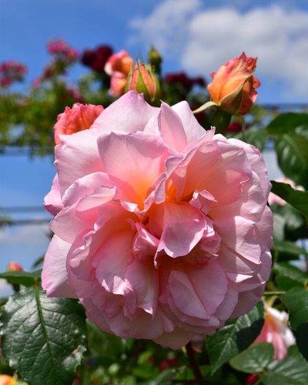 New addition Fragrant Celebration at Peter Beales Roses. PHOTO: Keith Mindham.