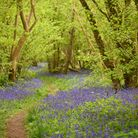 Foxley Wood, which is hosting a mini-beast hunt on May 30Photo: IAN BURT