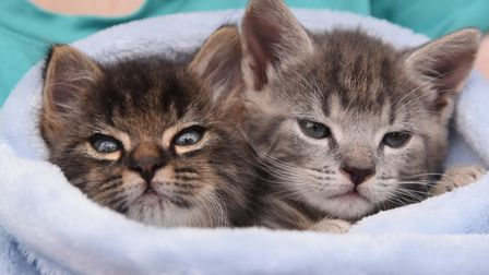 Two seven-week-old male kittens, rejected by their sick mother at the Hallswood sanctuary, who are n