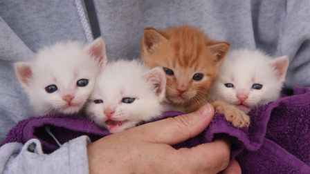 Four four-week-old male kittens, abandoned by their mother who is presumed dead, who are now being h