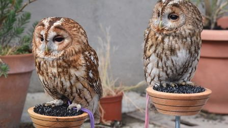 Arthur, left, and Betty, a pair of tawny owls and members of Tonya Knights' 'owl family' she uses to