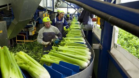 Seasonal workers cutting celery inside a rig for G's Group in the Fens. Picture: G's Group.