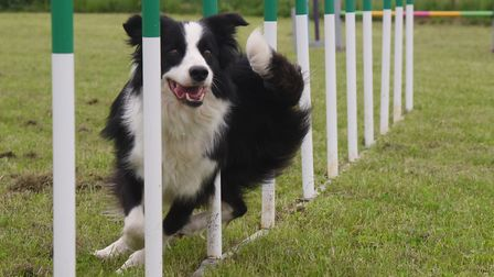 The dog agility course with collie Bass weaving through the poles at the new business hub for all th
