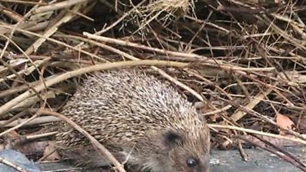 Stevie the hedgehog is missing. PHOTO: Roseanna Page