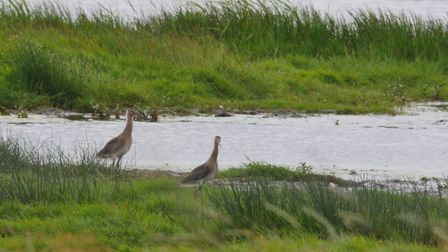 21 black-tailed godwits were released in the Cambridgeshire Fens after being hand-reared by conserva
