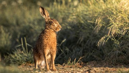 A hare in the countryside. Photo: Chris Betts