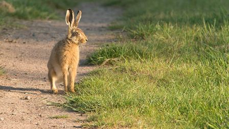 A hare running about over the Bure MarshesPhoto: BRIAN SHREEVE