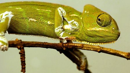 Chameleon was one of the most popular words that Norfolk children used in their stories. Photo: Bill