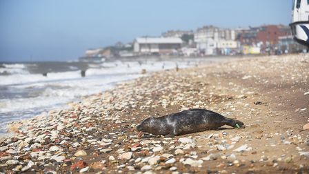 A seal on the beach at Hunstanton. Picture: Ian Burt