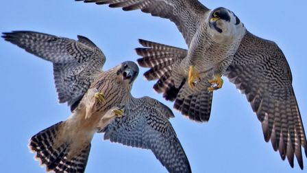 Peregrines in the skiesl. Photo: Andy Thompson