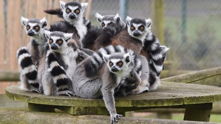 Will the Ring-tailed Lemurs predict the winners of the World Cup?. Picture: DENISE BRADLEY