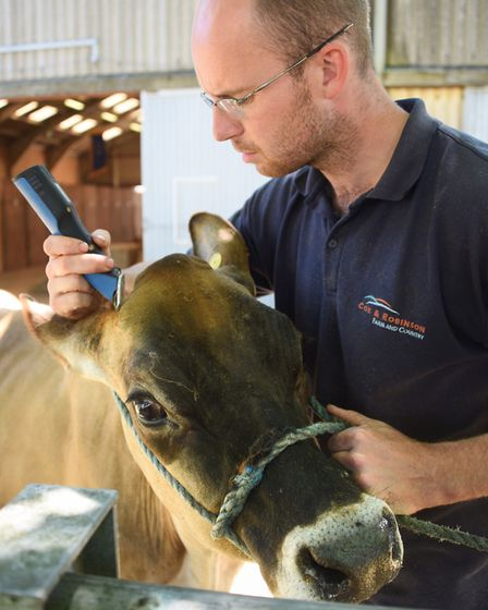 Andrew Reader shaves Barnowl Pats Isis, one of his Barnowl Jersey cows, ready for the Royal Norfolk