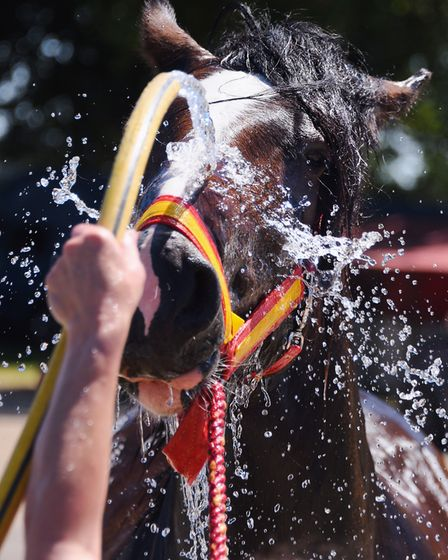 Two-year-old Fifefield Donald shire horse from Thompson, is hosed down ready for the Royal Norfolk S